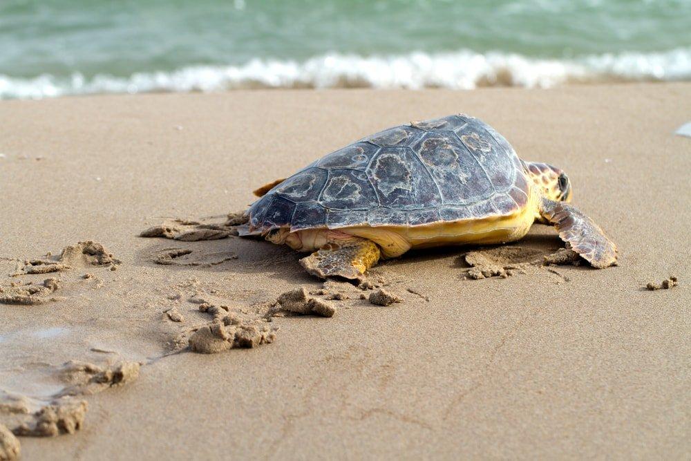 морская черепаха на берегу