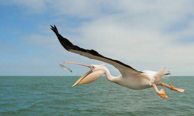 пеликанов