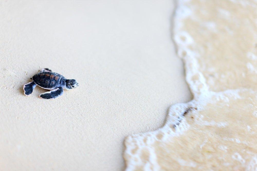сезон гнездования черепах