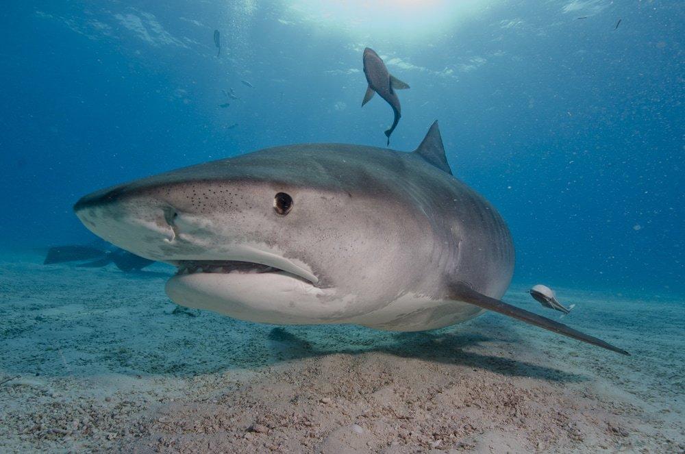 тигровую акулу
