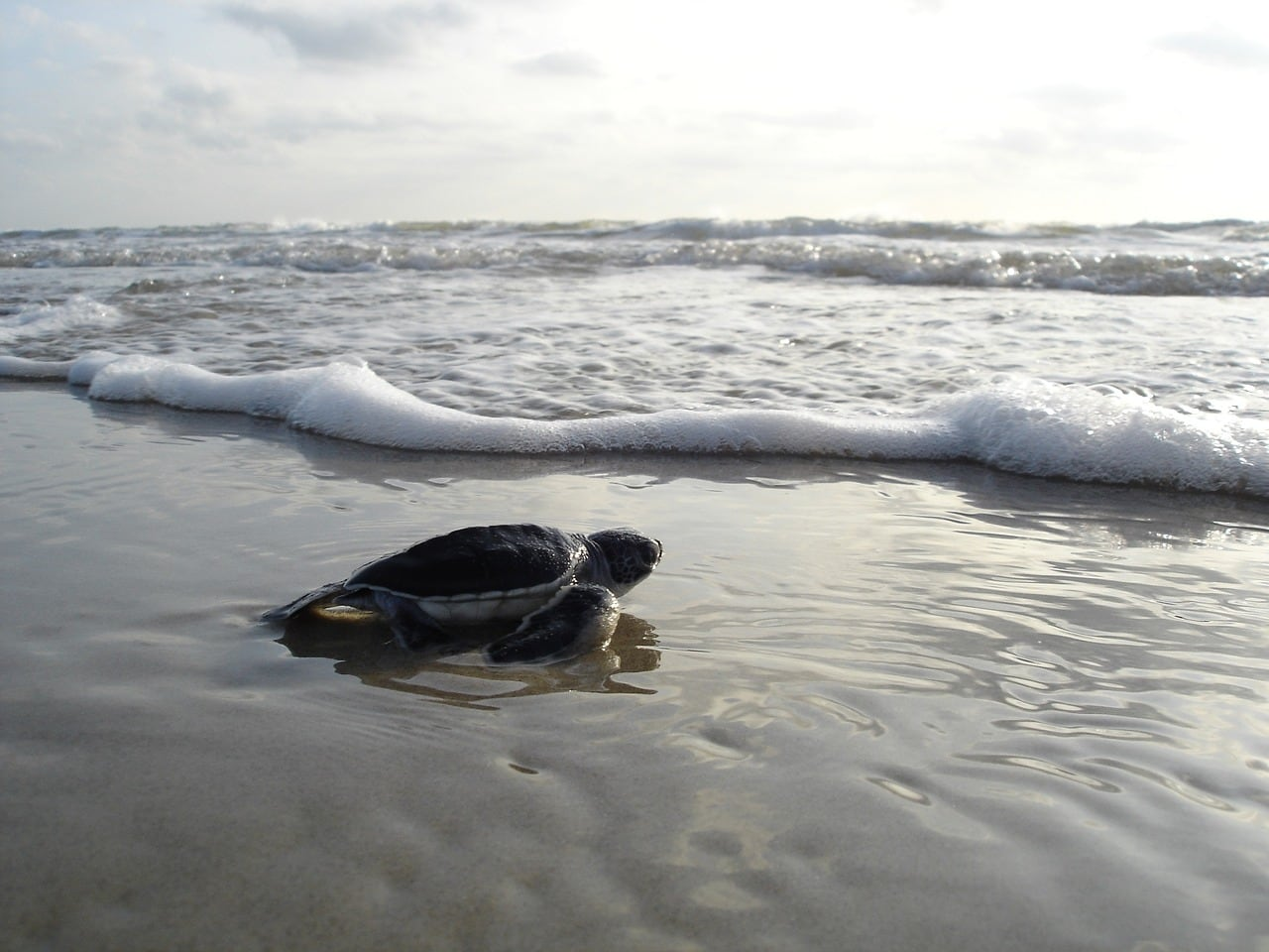 морских черепах