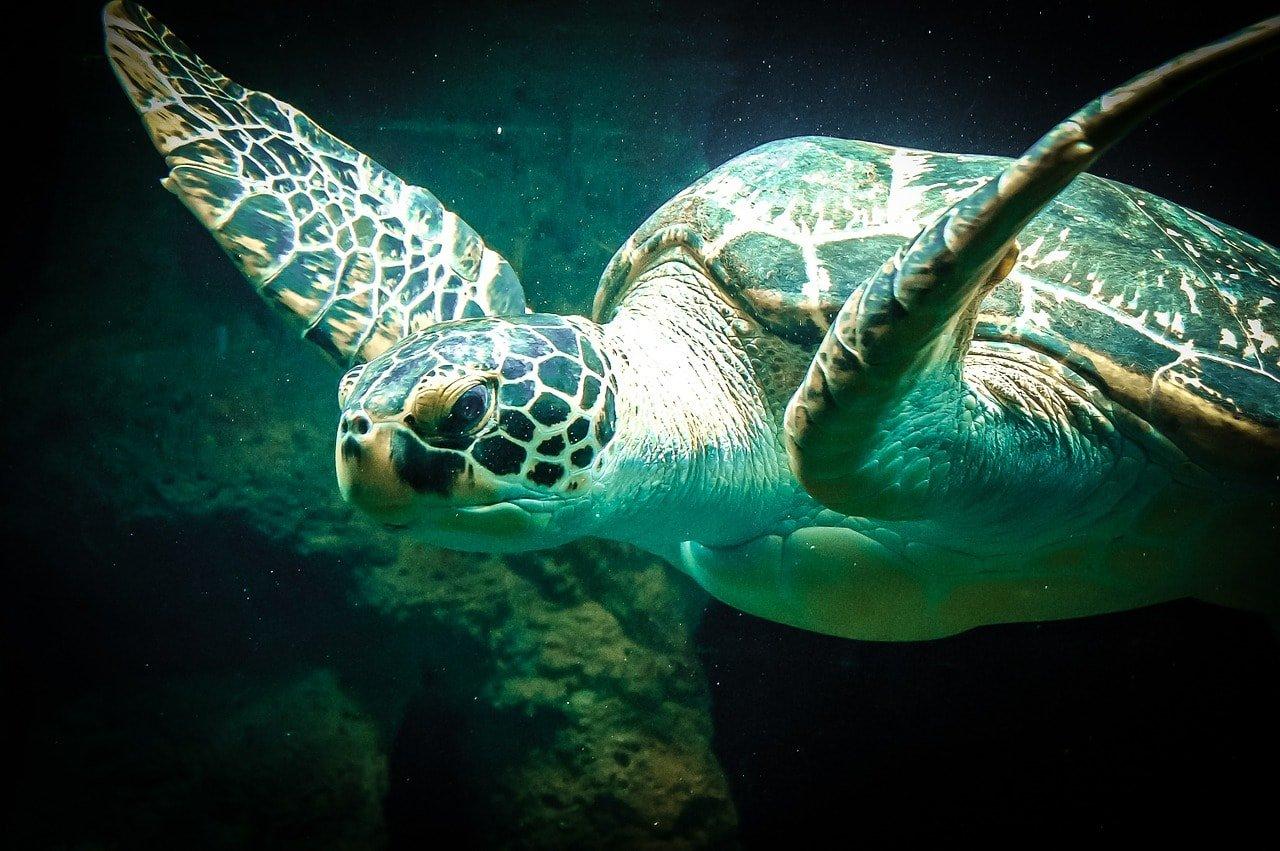 раненная черепаха